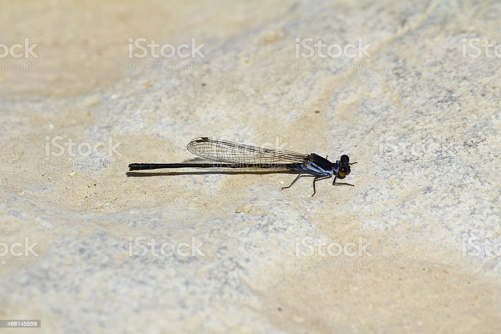 Dragonfly in Oman stock photo