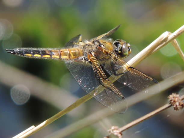 Dragonfly in profile, extreme close-up stock photo