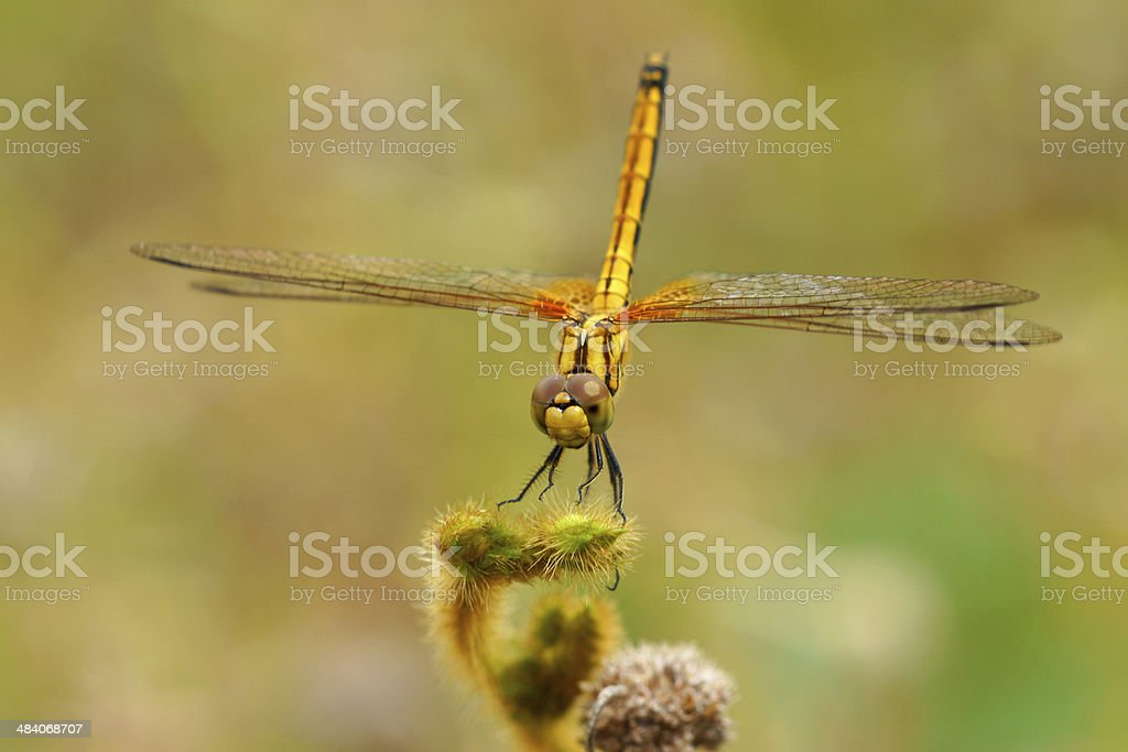 Dragonfly in the Botanical Gardens. stock photo