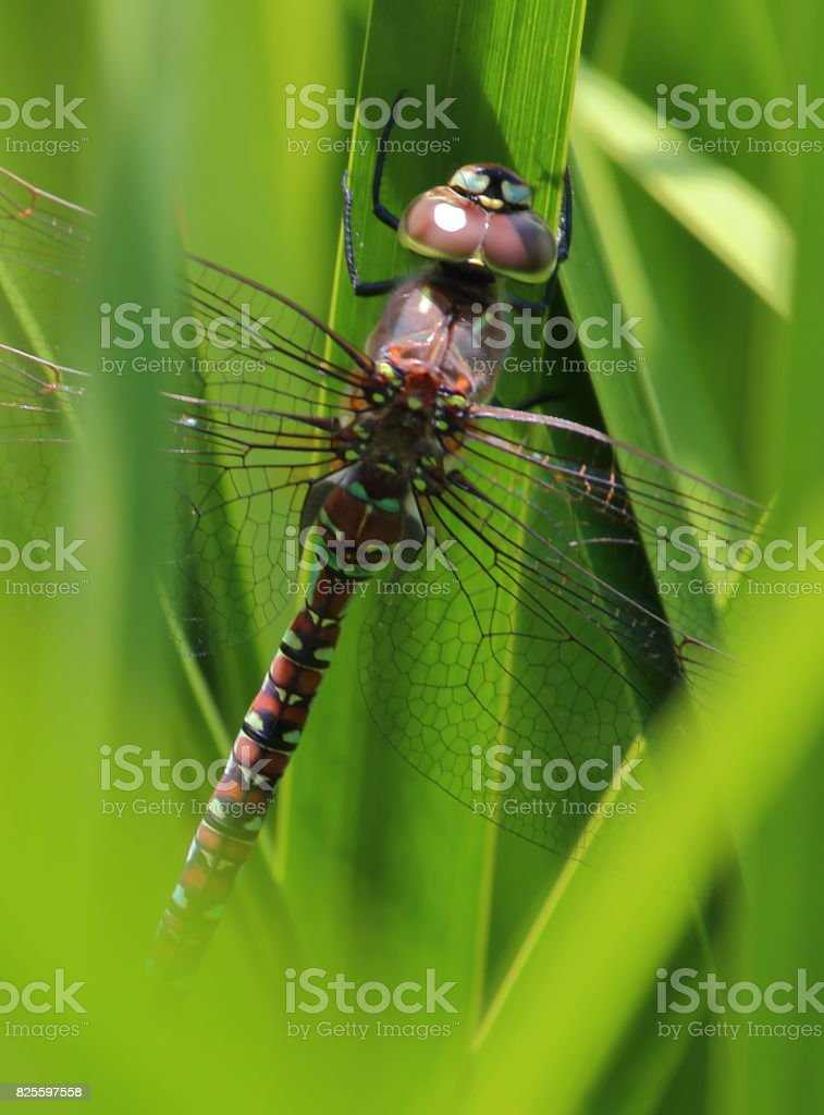 Dragonfly in the Reeds stock photo