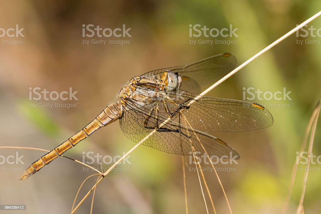 Dragonfly in the wild, side view stock photo