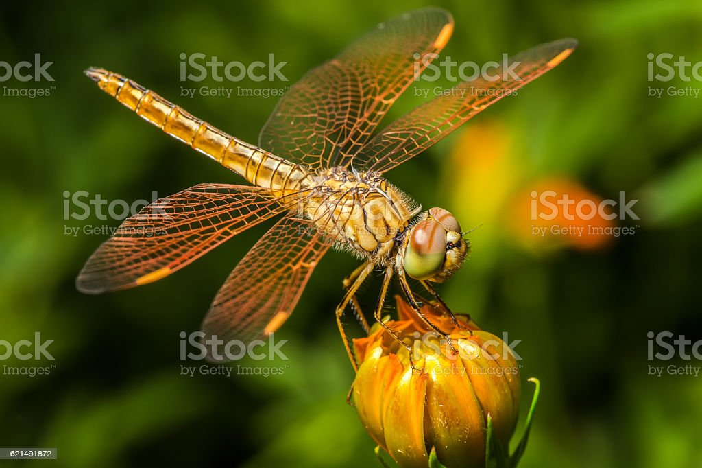 Dragonfly, insect on the cosmos flower Lizenzfreies stock-foto