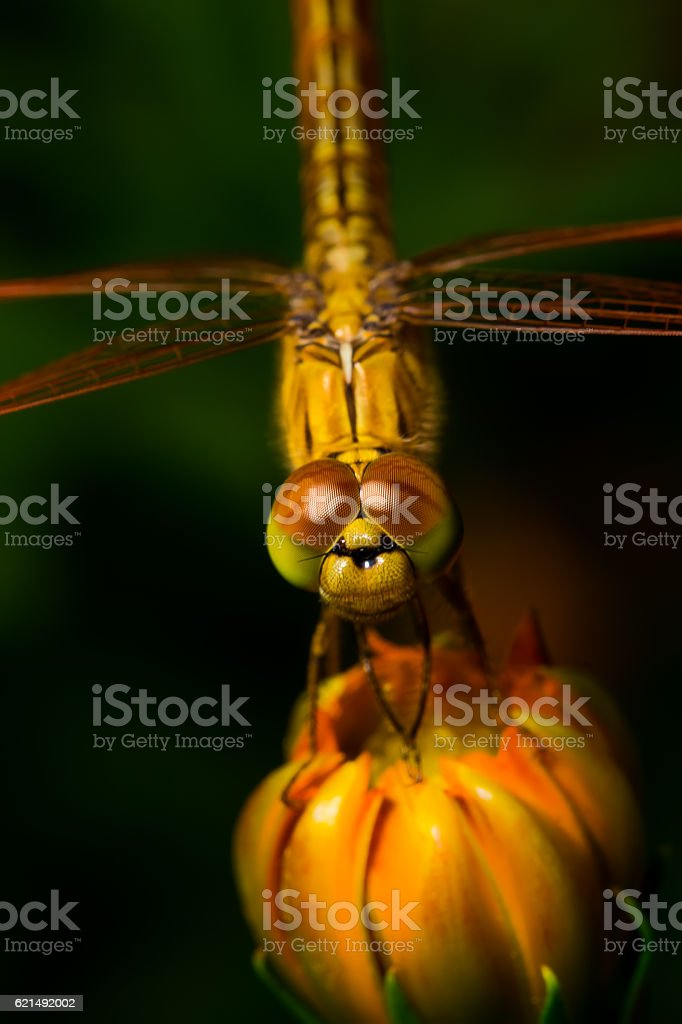 Dragonfly, insect on the cosmos flower photo libre de droits