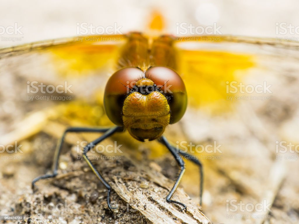 Dragonfly Insect Sitting on Ground - Royalty-free Animal Stock Photo