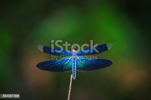 Dragonfly in nature Thailand.
