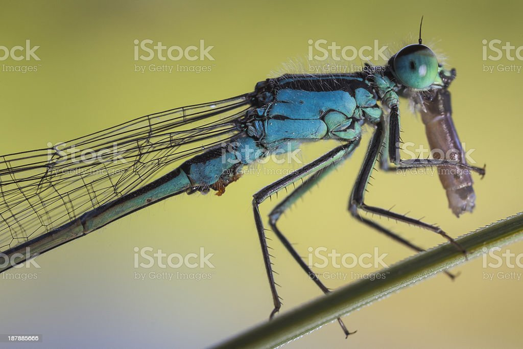 Dragonfly is eating another one royalty-free stock photo