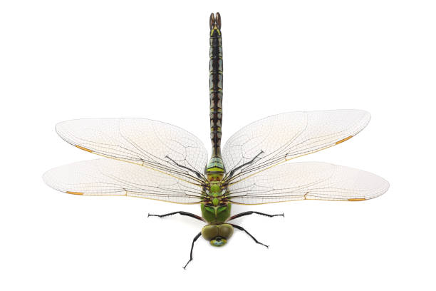 Dragonfly isolated on white background picture id908502490?b=1&k=6&m=908502490&s=612x612&w=0&h=icl7i9kc 9ubw qkz6pwugbgu 2wzycgi0jzdbsafvo=