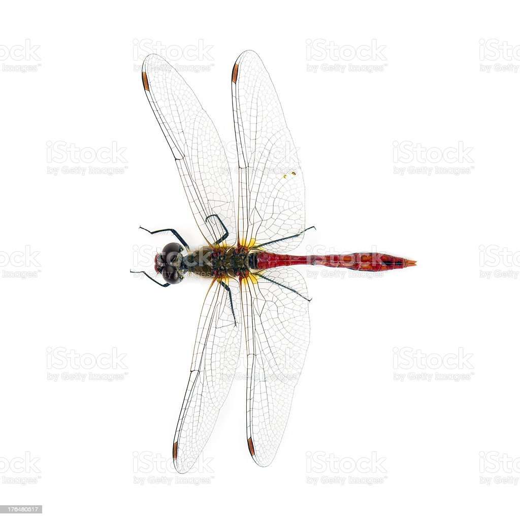 Dragonfly  (Sympetrum depressiusculum) isolated on white royalty-free stock photo