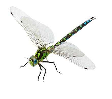 macro shot of dragonfly. isolated on white background