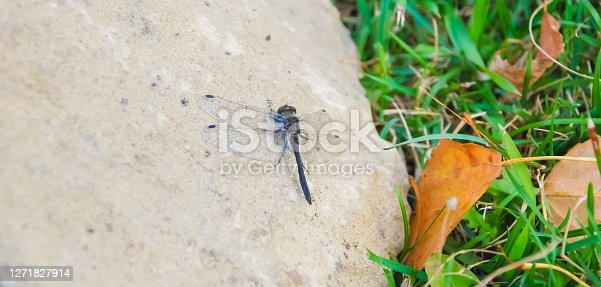 Close-up of a dragonfly landing on a stone.