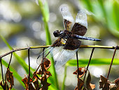Dragonfly on weed foliage at a pond macro