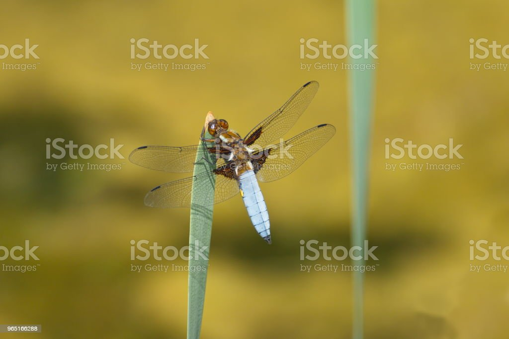 dragonfly nature background royalty-free stock photo