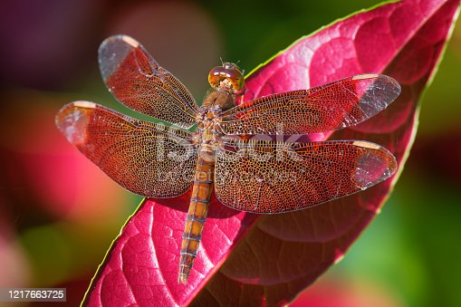 Dragonfly - Neurothemis fulvia, fulvous forest skimmer is a species of red dragonfly found in Asia.
