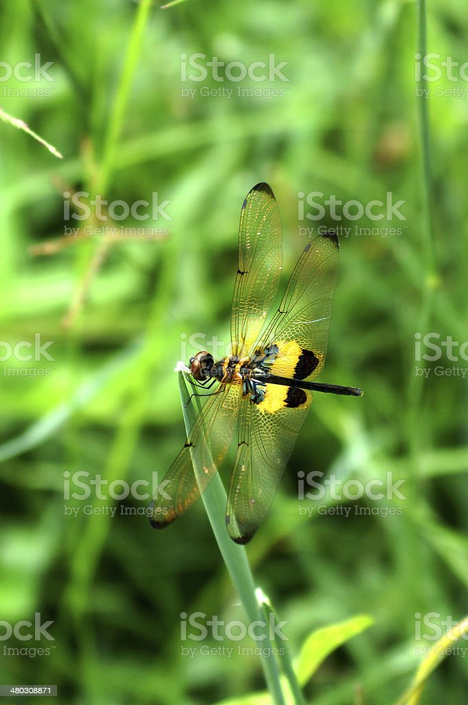 Dragonfly 'Neurothemis tullia male' stock photo