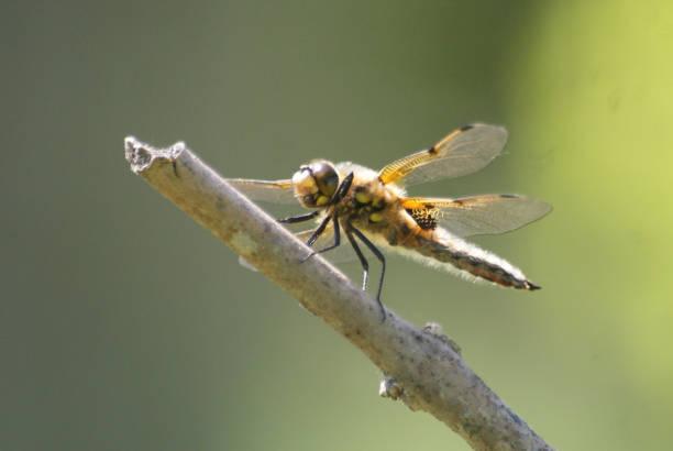 Dragonfly nyfödda bildbanksfoto