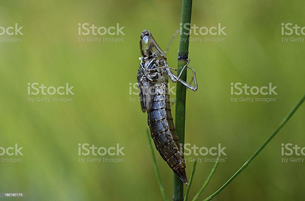 Dragonfly Nymph Naiad Shell stock photo