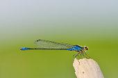 Dragonfly of type of Coenagrionidae