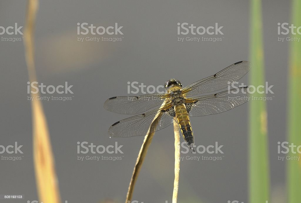 Dragonfly on a branch stock photo