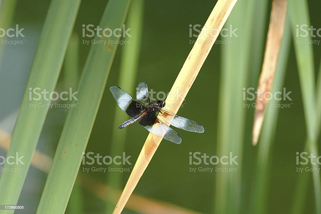 Dragonfly on a Cattail royalty-free stock photo