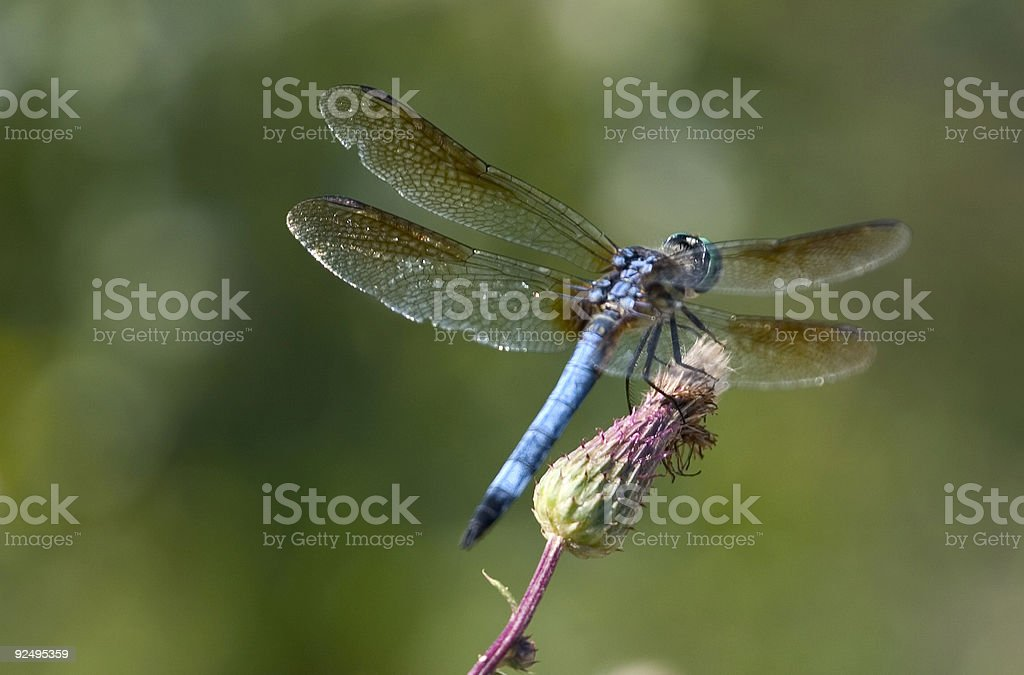 dragonfly on a flower bud royalty-free stock photo