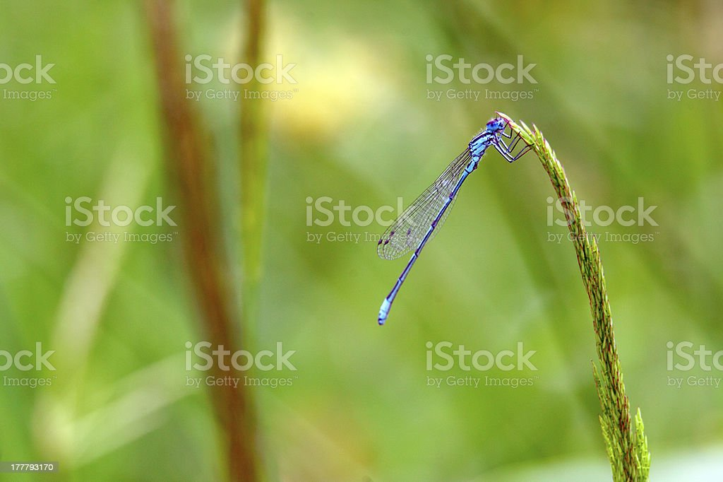 dragonfly on a green grass royalty-free stock photo