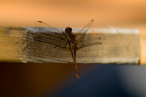 Dragonfly on a piece of wood stock photo