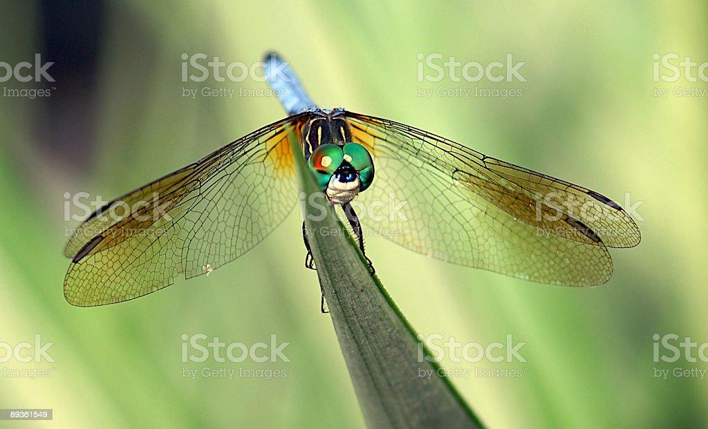 Dragonfly on a Plant royaltyfri bildbanksbilder