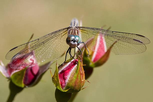 Dragonfly on a Rosebud stock photo