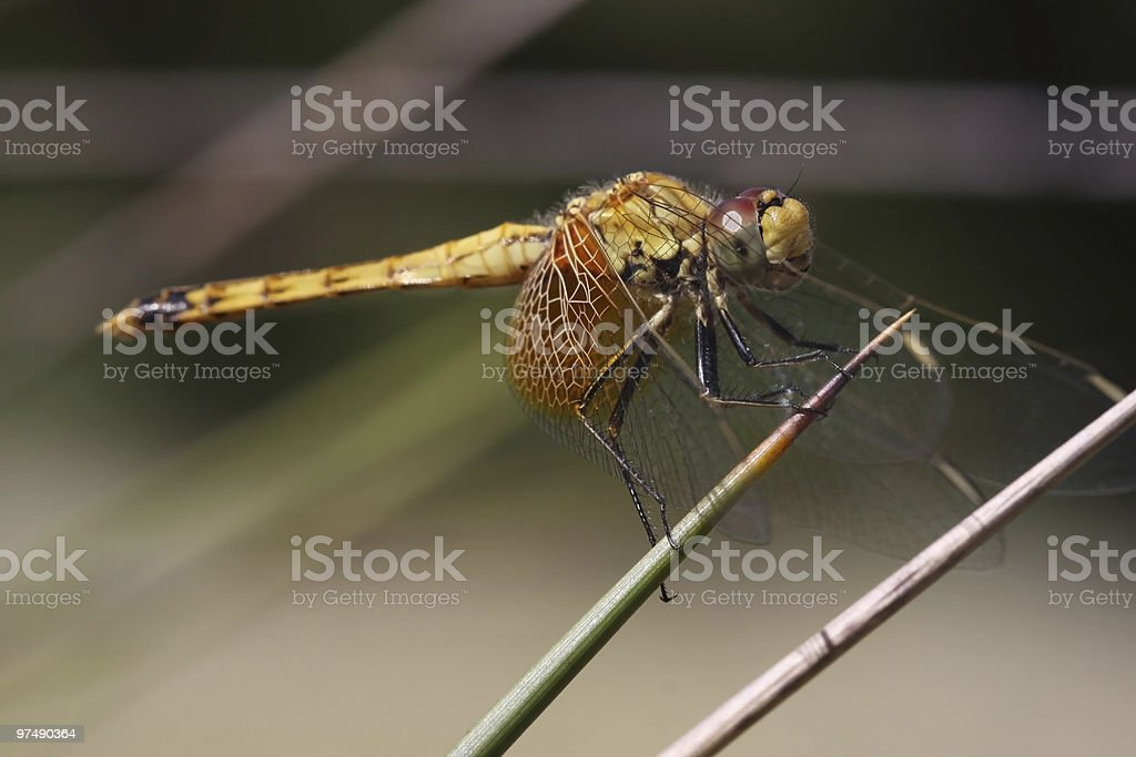 Dragonfly on a Spikey Plant stock photo