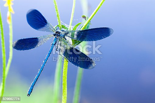 blue dragonfly on a flower on a spring meadow