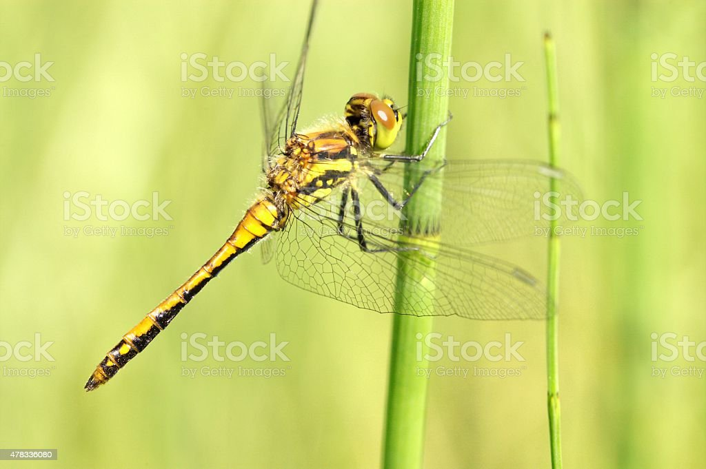 Dragonfly on a straw stock photo