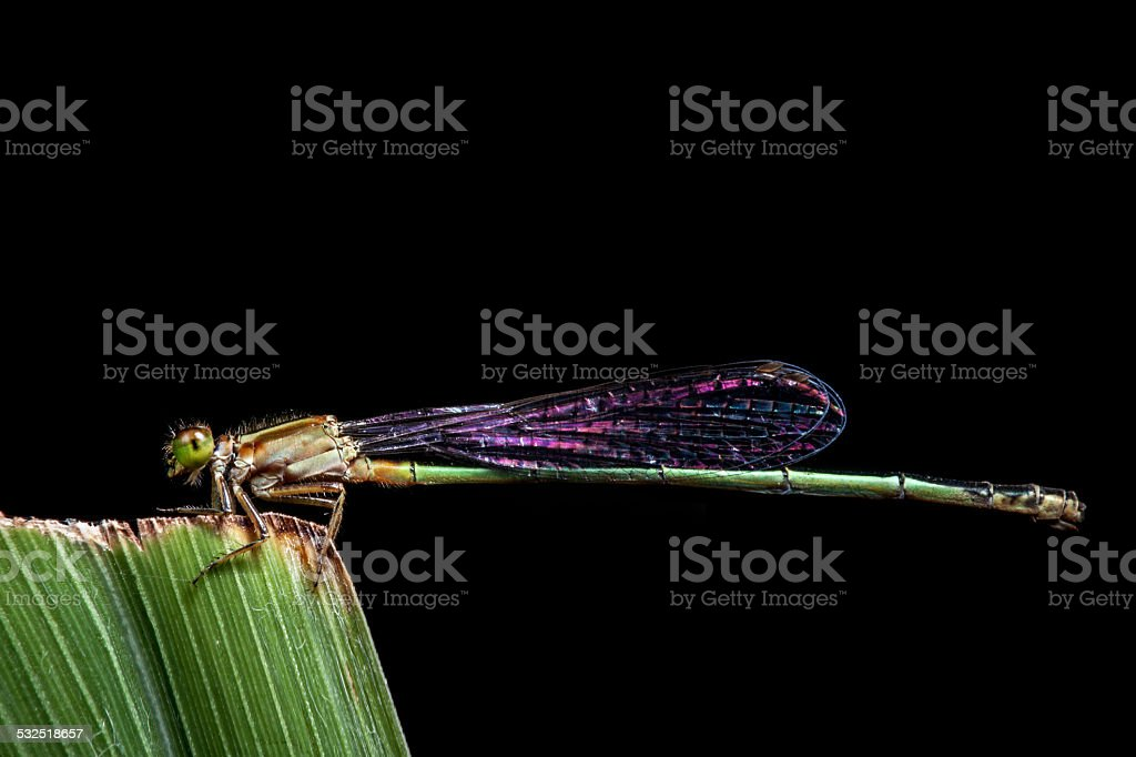 Dragonfly on Black background stock photo
