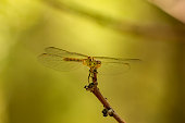 Dragonfly on branch. Close up photo. Selective focus. Summer, wild nature and ecological concept photo.