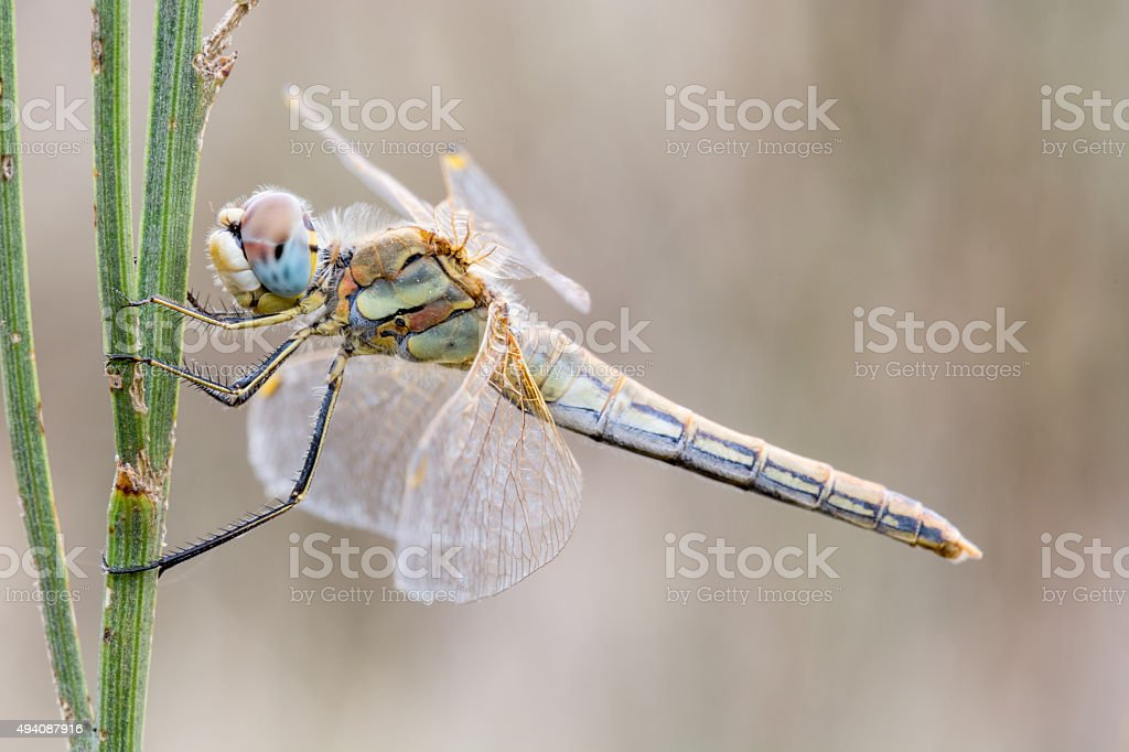 Dragonfly on branch stock photo