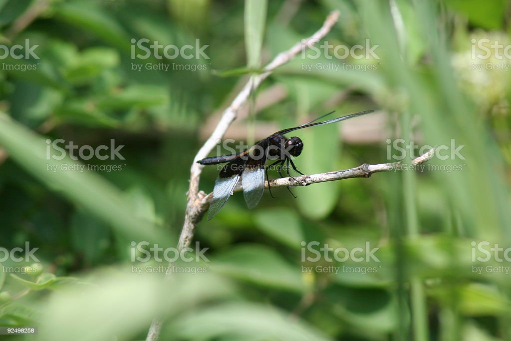 Dragonfly on branch royalty-free stock photo