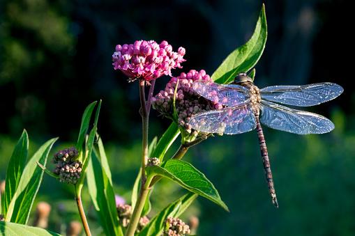 Dragonfly sitting on colorful milkweed
