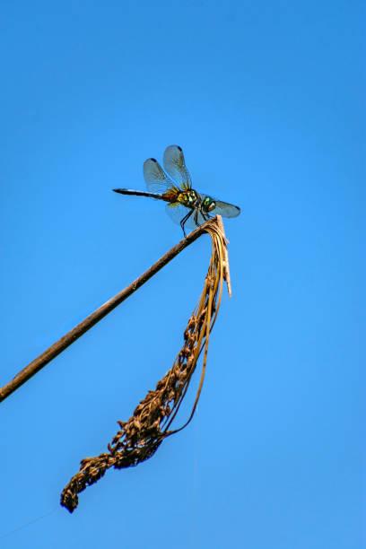 dragonfly on dry plant stock photo