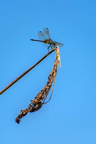 dragonfly on dry plant stem stock photo