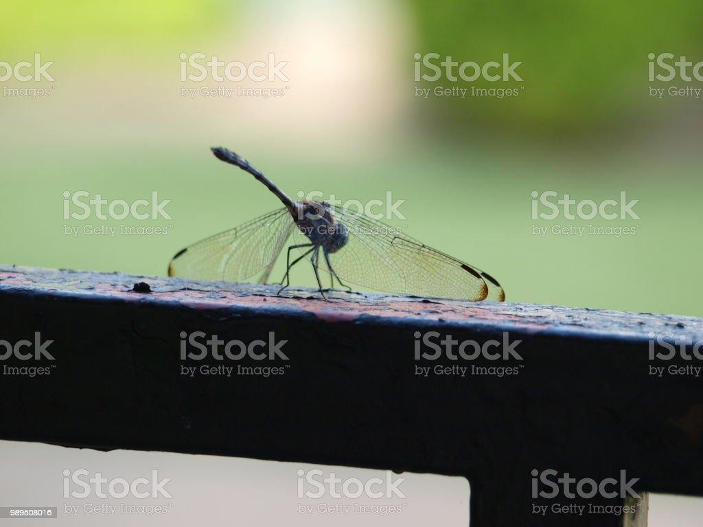 Dragonfly on Garden Gate stock photo