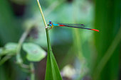 Blue red dragonfly close-up on a grass leaf in the rainforest of Borneo, Malaysia.