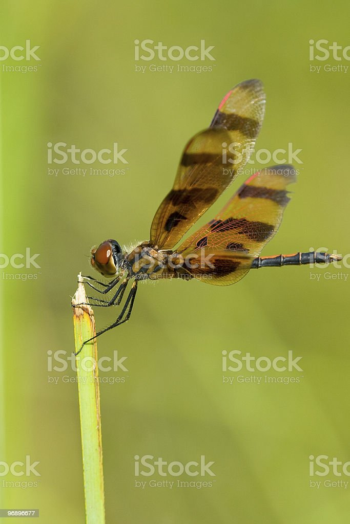 Dragonfly on green plant royalty-free stock photo