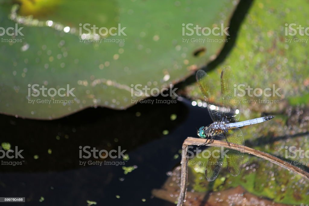 Dragonfly on Lake stock photo