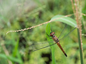 Brown Dragonfly with black patterned on its body resting on leaf with natural green color background