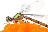 Dragonfly on orange blossom flower isolated on white background. Macro photography.