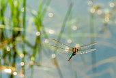 Dragon Fly in Bush Close up libelle