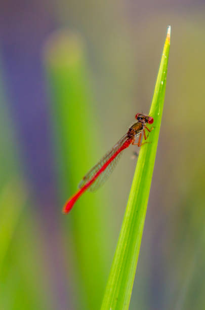 Dragonfly on reed Dragonfly on reed nematode worm stock pictures, royalty-free photos & images