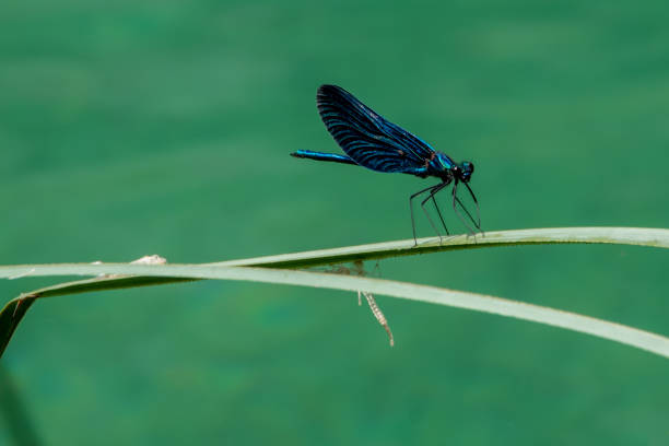 Dragonfly on reed stock photo