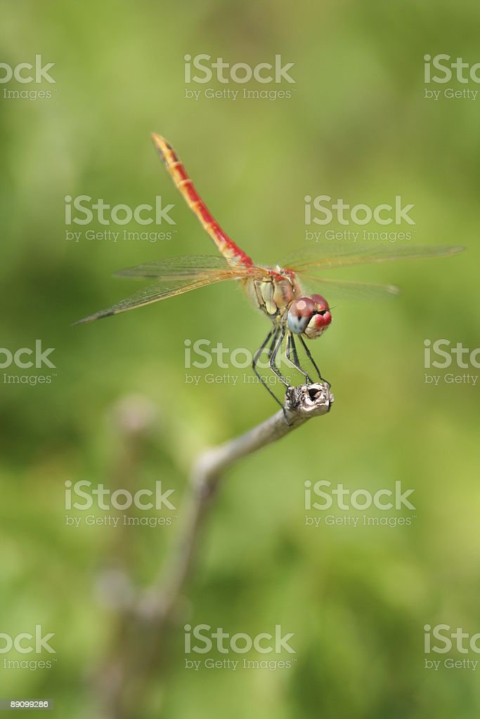 Dragonfly on the bough royalty-free stock photo
