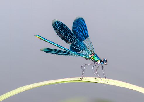 A small blue dragonfly on a green leaf