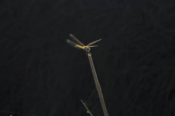 libélula en la parte superior de un palo de caña estanque - foto de stock